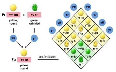 Explain Di-hybrid Cross - QS Study