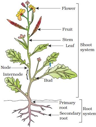 Explain different parts of a typical flowering plant qs study stem it is the part of the plant connected to the tap root and remains above the soil the stem has a node and internode leaves originate from the nodes ccuart Images