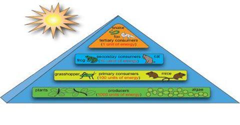 Describe Steps of Energy Flow in Ecosystem