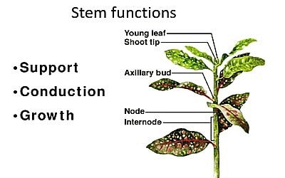 Functions of Stem 1