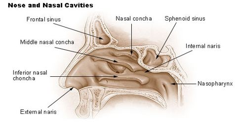 Nose: Sensory Organ