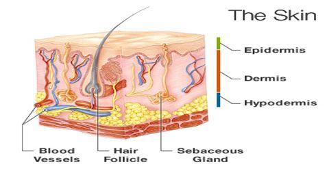 Skin: Sensory Organ