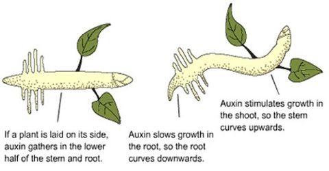 Auxin: Definition and Formation