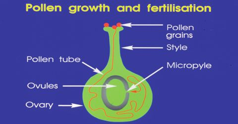Physiology of the Growth of Pollens