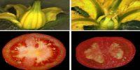 Parthenocarpy and Parthenocarpic Fruits