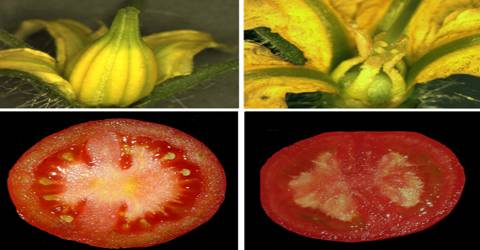 Parthenocarpy and Parthenocarpic Fruits