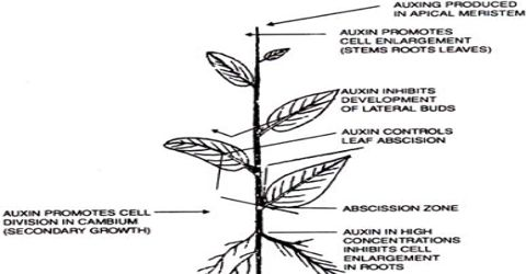 Physiological Effects of Auxin
