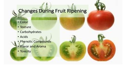 The Physiology of Fruit Ripening