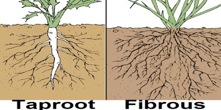 Describe Types of Roots