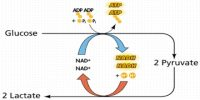 Anaerobic Respiration: Definition; Types and Formation