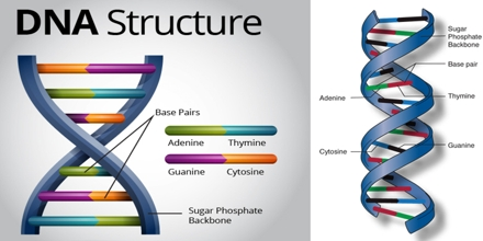 a study of the dna structure Major advance made on dna structure date: may 4, 2005 another important part of this study is the finding that the process of dna crystallization does not distort.