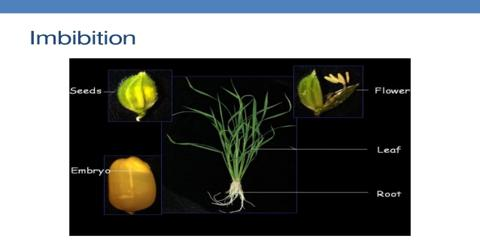 Significance Imbibitions in Plant Life