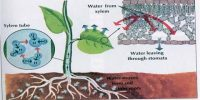 Importance of the Osmosis is Plant Life