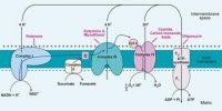 Electron transport system or Oxidative Phosphorylation in Plants