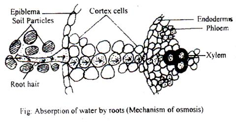 Passive Absorption of Water in Plants from Soil