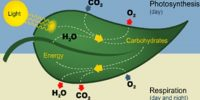 Photosynthesis and Respiration: a Comparative View