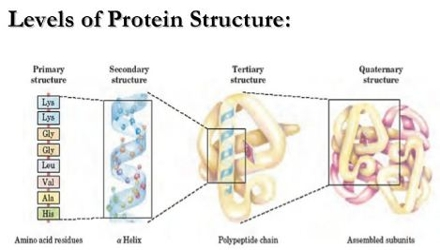 a description of proteins composed of polypeptide chains and non protein groups The 20 amino acids and their role in protein structures the amino acids are put together into a polypeptide chain on the ribosome during protein synthesis  water molecules may also be.