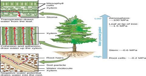 Necessities of Water in Plant Body