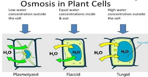 Osmosis: Definition and Classification