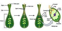 Double Fertilization: Definition and Advantages