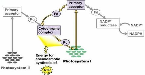 Photophosphorylation: Definition and Types
