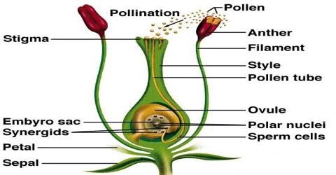 Pollination of Male Gametes