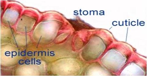 Comparison between Stomatal Transpiration and Cuticilar Transpiration