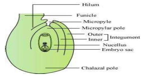 Diagram of a typical Ovule