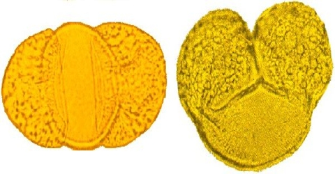 Development of Pollen Grain