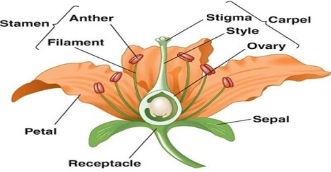 Sexual Reproduction of a Flowering Plant
