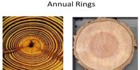 Formation of Annual Ring
