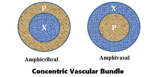 Concentric Vascular Bundle