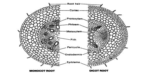 Comparison between the Dicot Root and Monocot Root