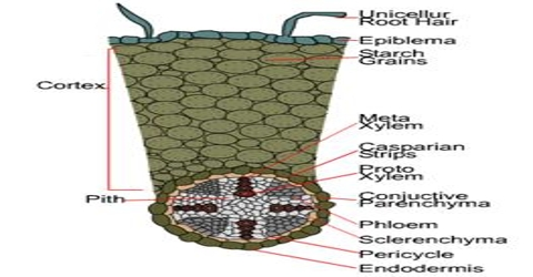 Epiblema Function and Formation in Plants