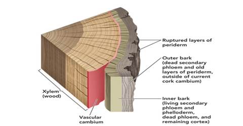 Formation and Function of Bark