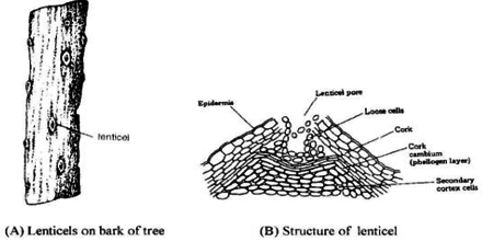 Formation and Function of Lenticel  QS Study