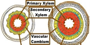Formation of Secondary Xylem - QS Study Xylem Tissue Consists Of Cells That Include