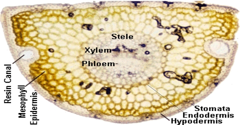 Hypodermis Formation and Function in Plants