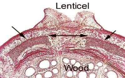 Lenticel 1