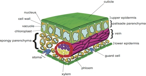 Difference between Palisade Parenchyma and Spongy Parenchyma