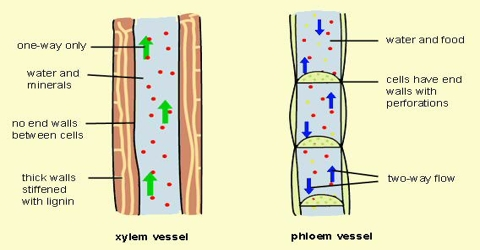 Xylem Function and Formation in Plants