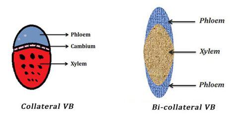 Conjoint Vascular Bundle