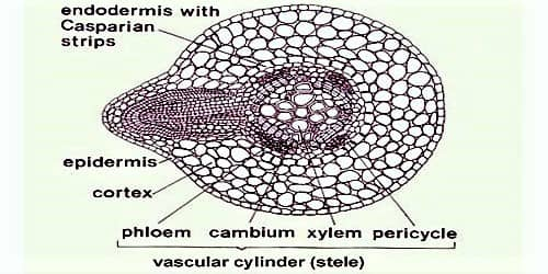 Functions of Pericycle in Plants