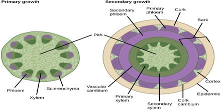 Pith Medulla Formation And Function In Plants Qs Study