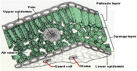 Upper Epidermis in Plants