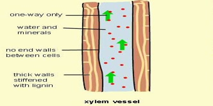 Xylem Function and Formation in Plants - QS Study