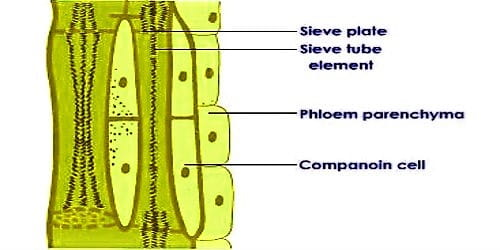 Elements of Phloem Tissue