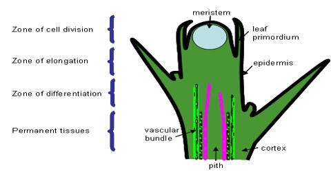 Difference between Meristematic Tissue and Permanent Tissue