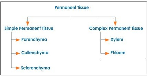 Permanent Tissue: Definition, Types and Characteristics