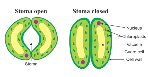 Structure and Functions of Stomata in Plants